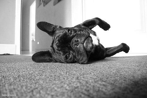 Apprendre le «couché» à son chien