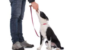 Apprendre le «assis» à son chien