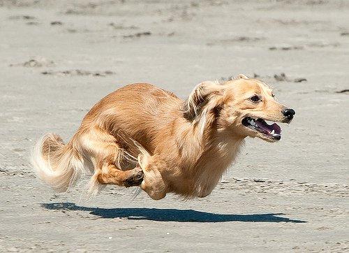 Nous apprenons intéressant: quelles sont les races de chiens