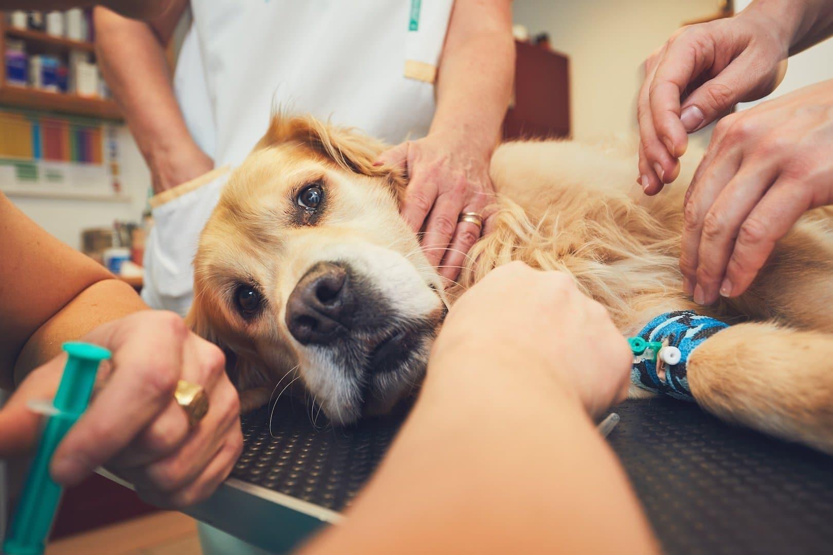 Les soins vétérinaires d'urgence chez le chien