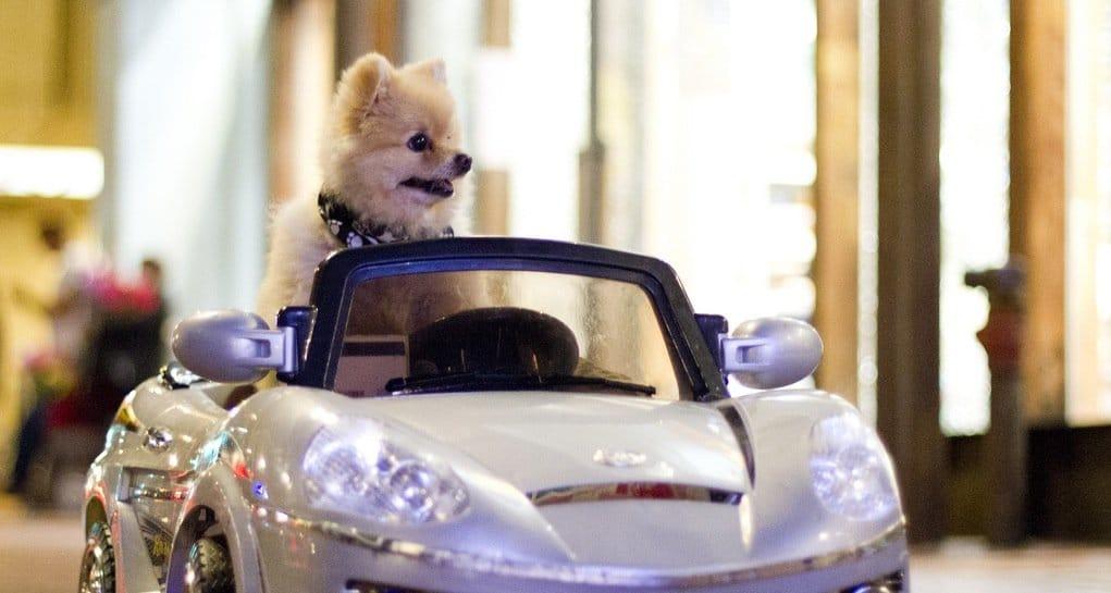 Comment faire le premier trajet en voiture avec un chiot ?