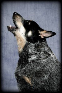 chien aboie à la sonnette