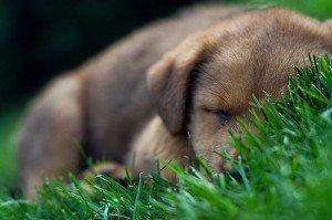 chiot qui dort