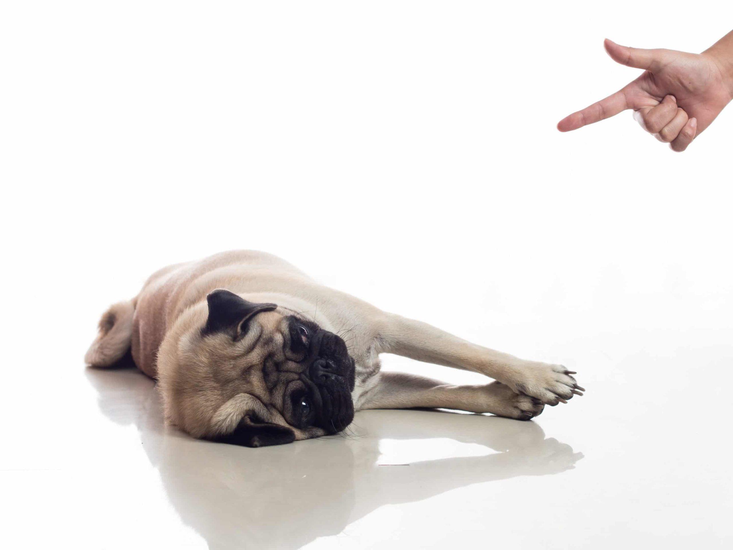 """Apprendre le """"Pan t'es mort"""" à son chien"""