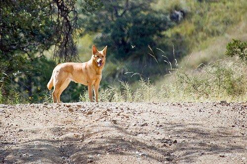 chien fugeur