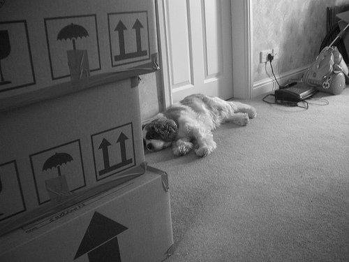 Le stress du chien pendant un déménagement. Mon chien Freesby re-déménage !