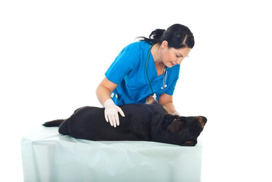 stérilisation chez le chien
