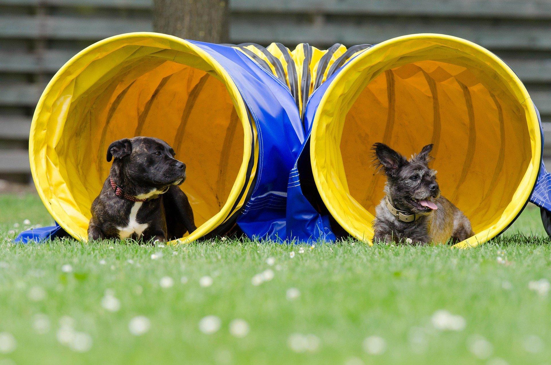 Qu'est-ce que l'Agility pour chien ? Un sport canin qui a du chien !