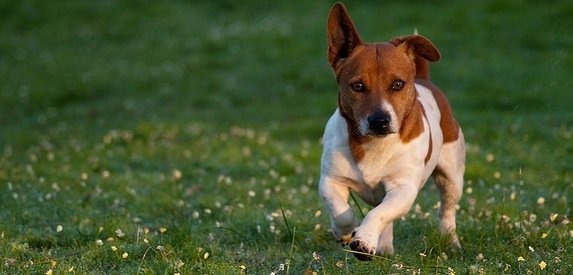 Description de la race du Jack Russel, un chien plein d'énergie !