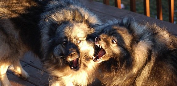 La dominance chez le chien et notion de hiérarchie
