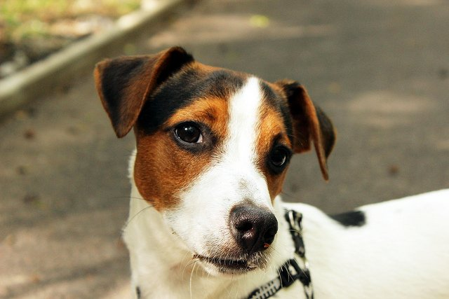 dressage chien jack russel