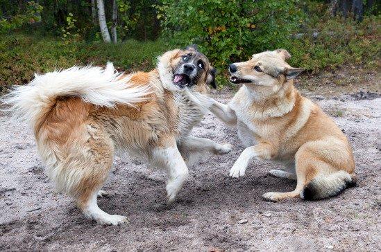dominance chez le chien