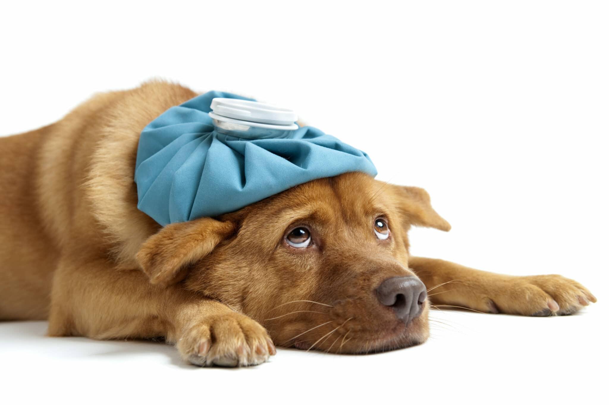 maladie courante chez le chien
