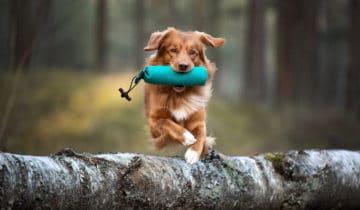 Apprentissage du chien par le conditionnement opérant
