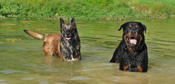 7 conseils pour éviter une torsion de l'estomac chez le chien