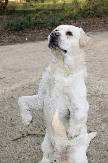 white labrador standing