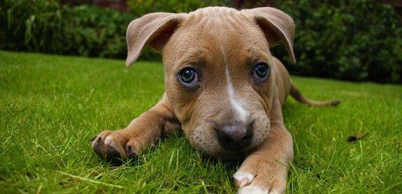 Le chien désobéit-il vraiment ? Oui ou non ?