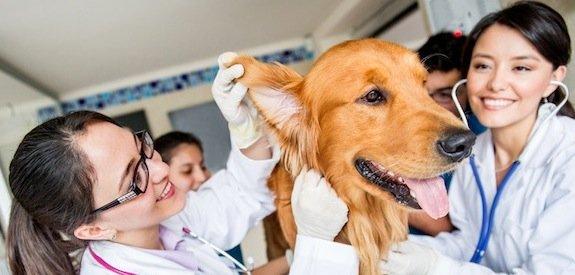 La stérilisation chez le chien : Avantages et inconvénients