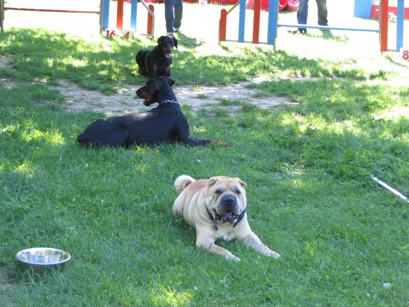 sociabilite-chiens-club