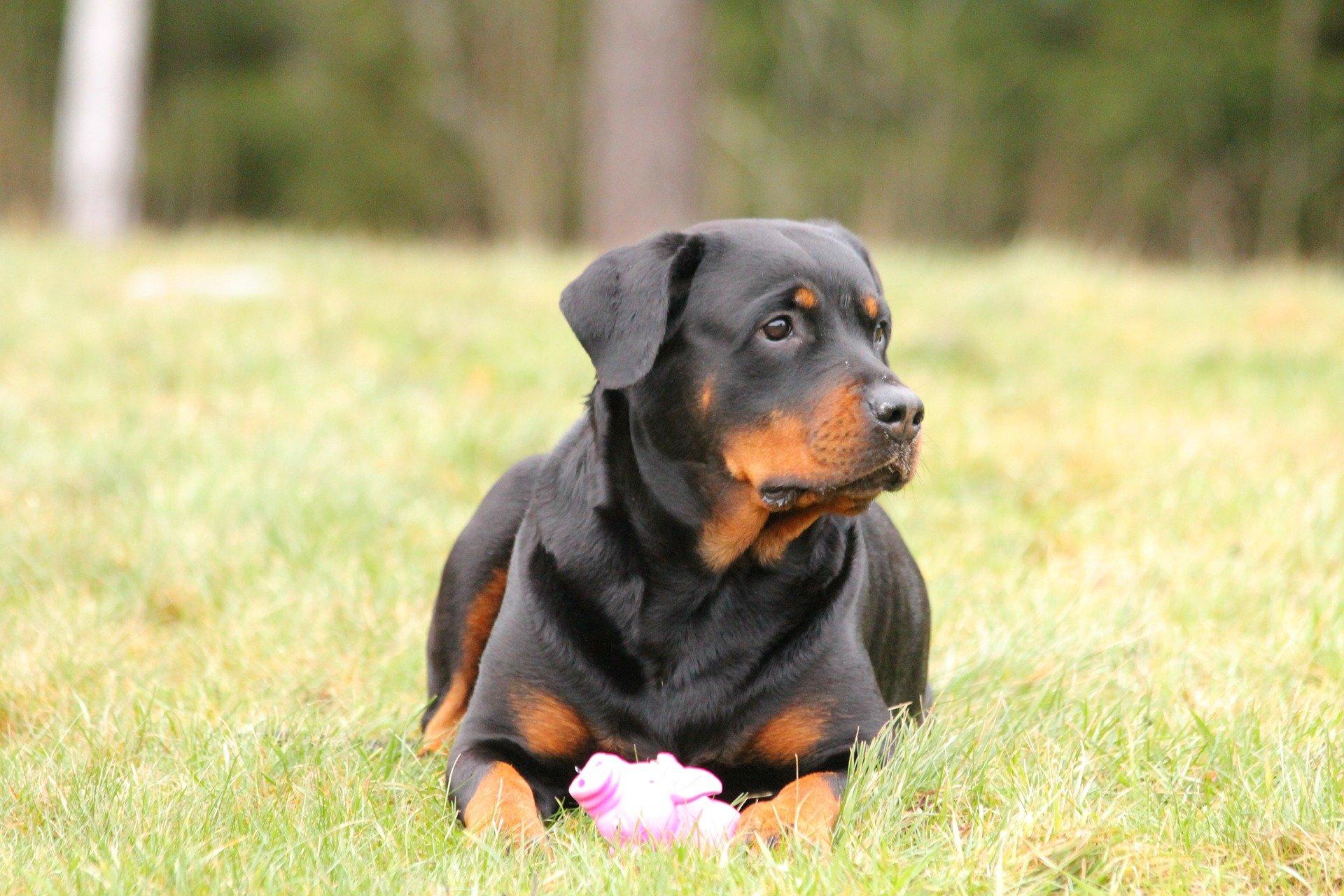 torsion de l'estomac chez le chien
