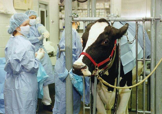vache et veterinaire