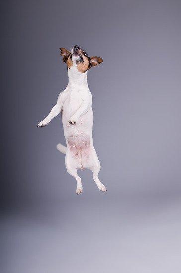 jack russel terrier qui saute sur les gens