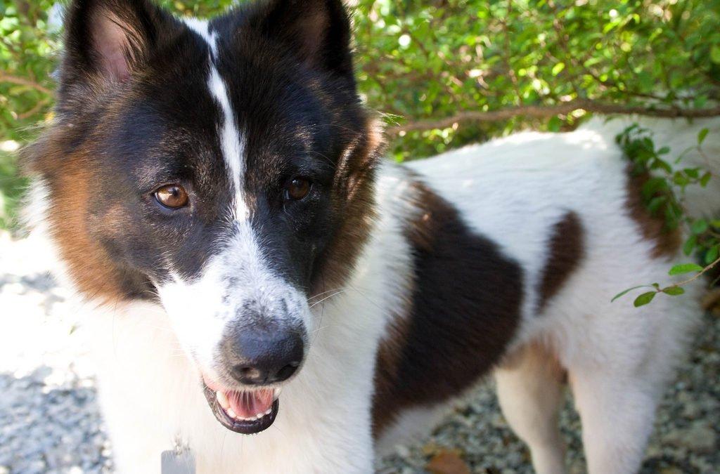 Race de chien : Bangkaew de Thailande