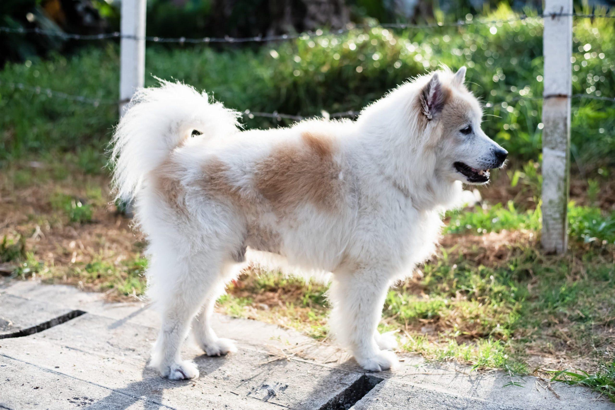 Bangkaew de Thaïlande : un chien de compagnie fait pour tous