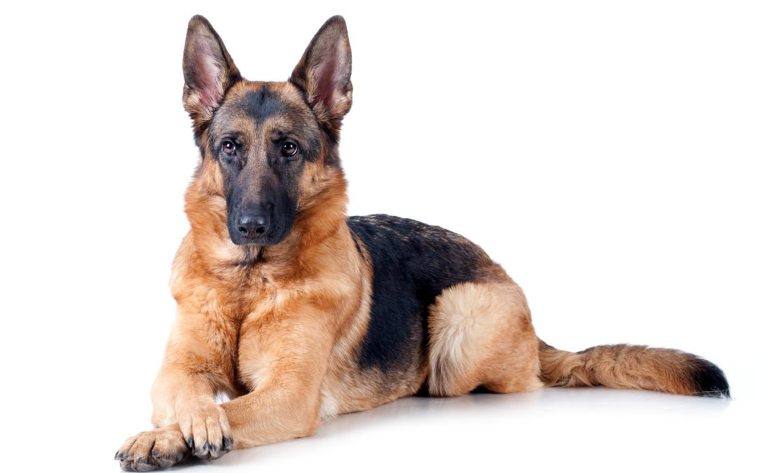 Race de chien : Berger allemand