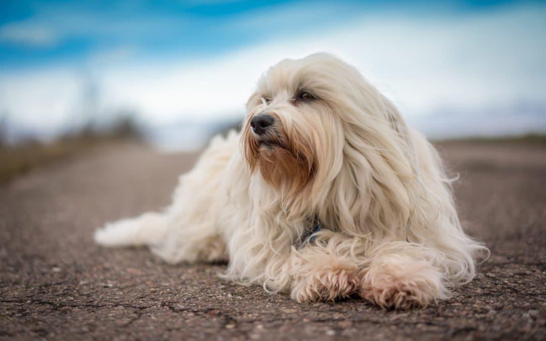 Race de chien : Bichon havanais