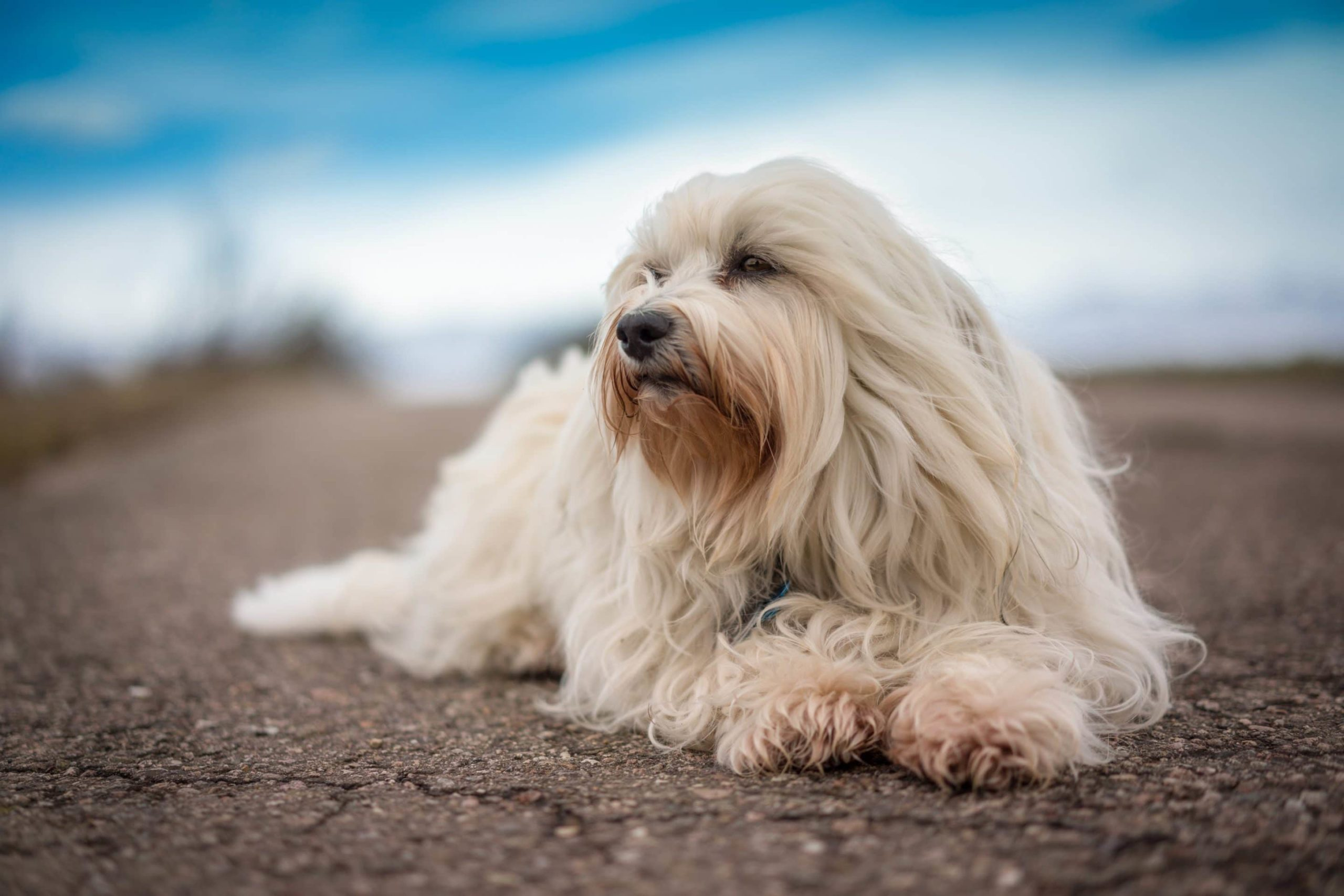 Bichon havanais : un chien doux câlin et facile à éduquer
