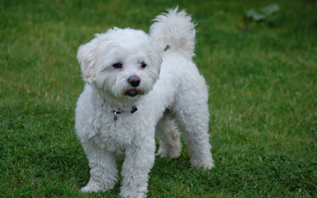 Race de chien : Bichon maltais
