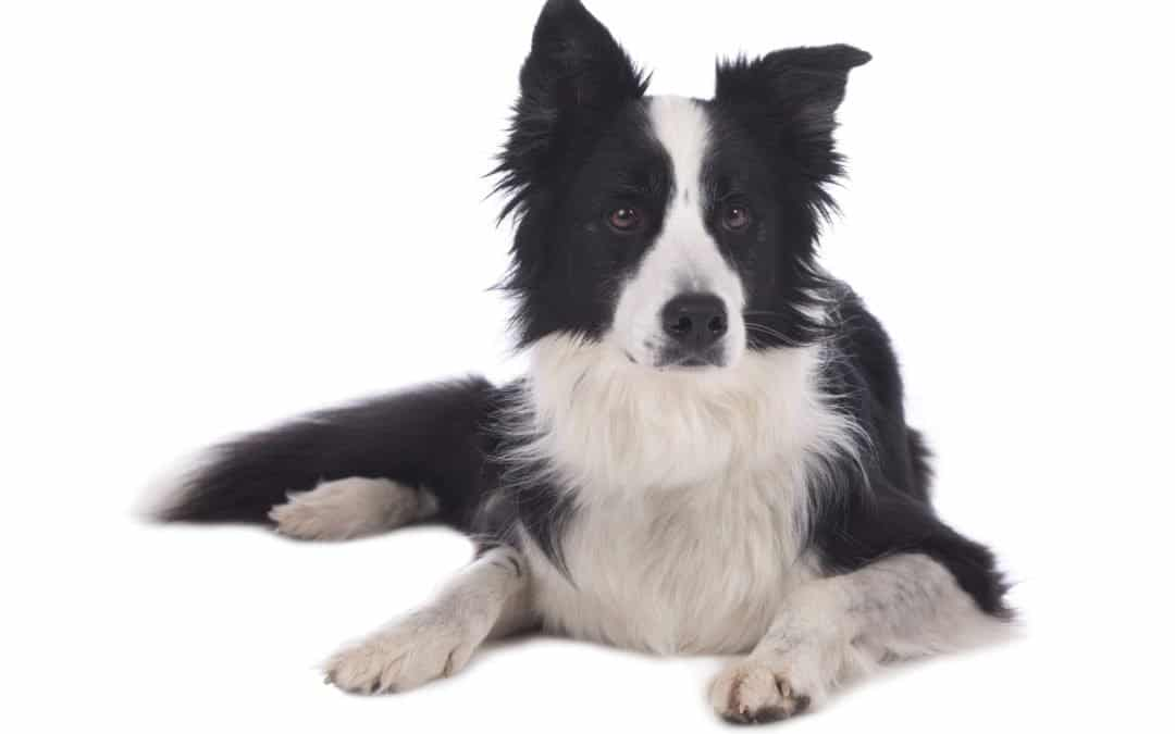 Race de chien : Border collie