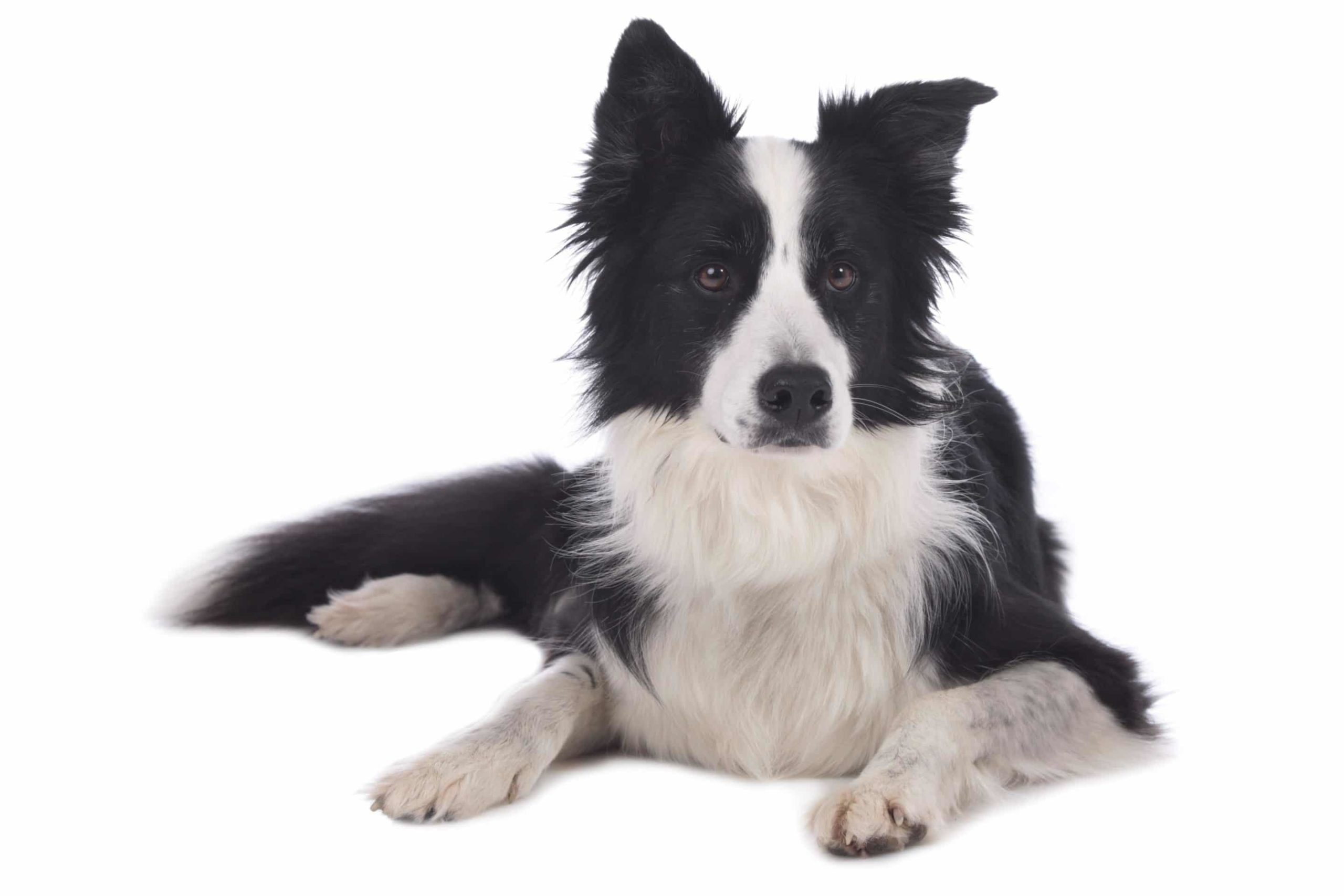 Border collie : intelligent, joueur et gentil
