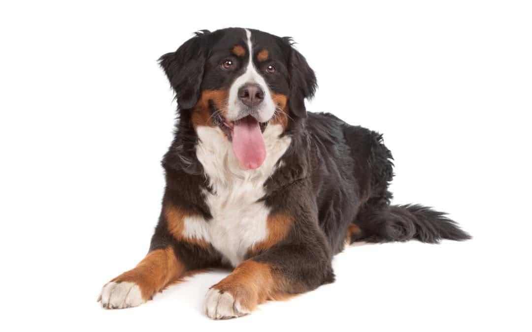 Race de chien : Bouvier bernois