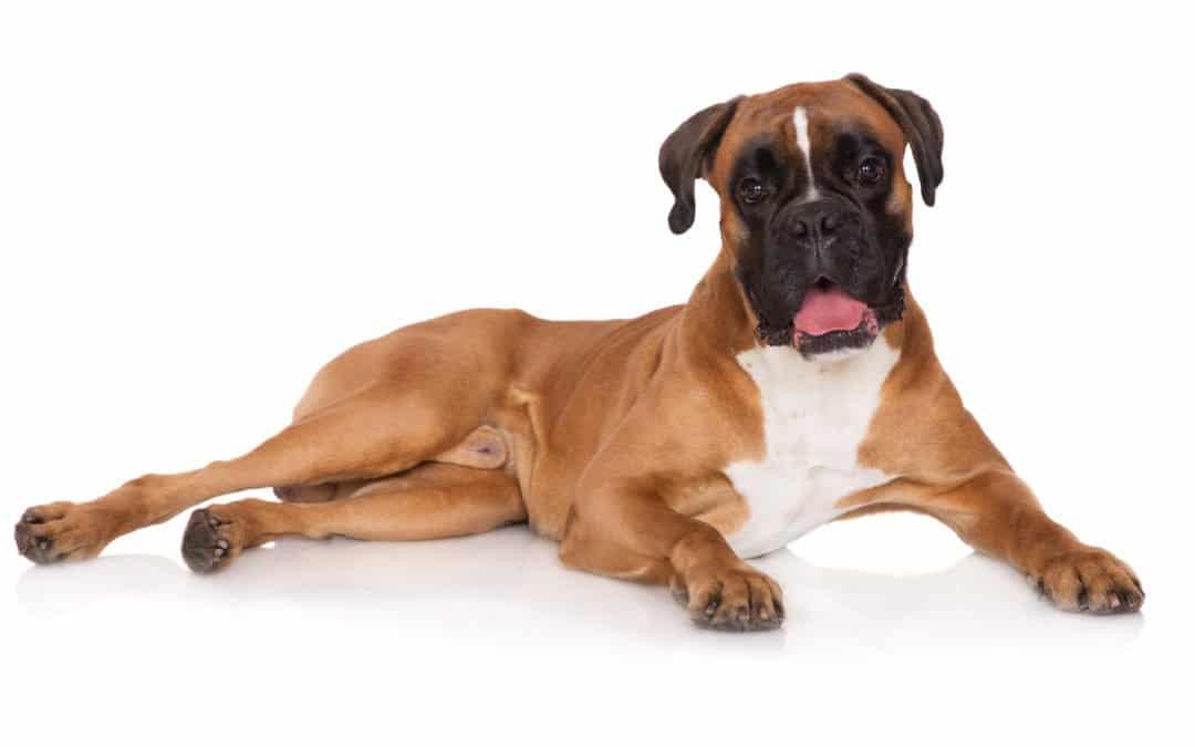 Race de chien : Boxer