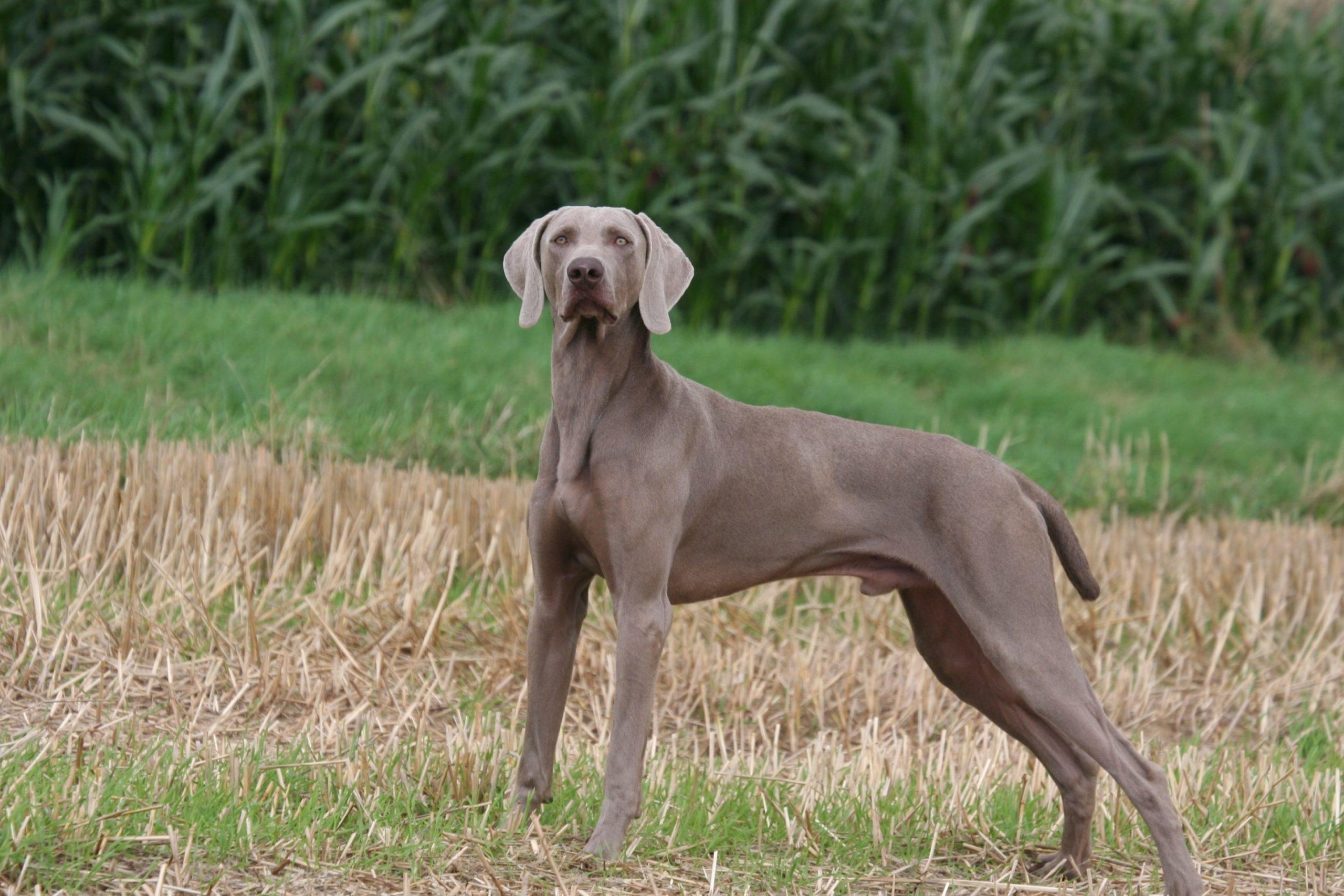 Braque de Weimar : un chien orgueilleux mais docile
