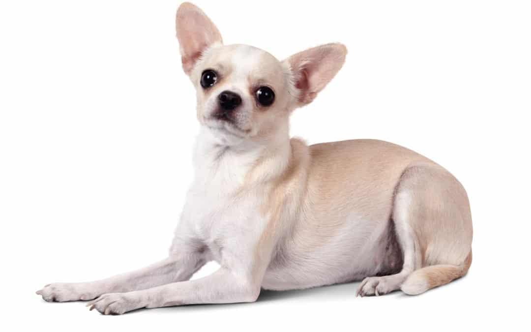 Race de chien : Chihuahua