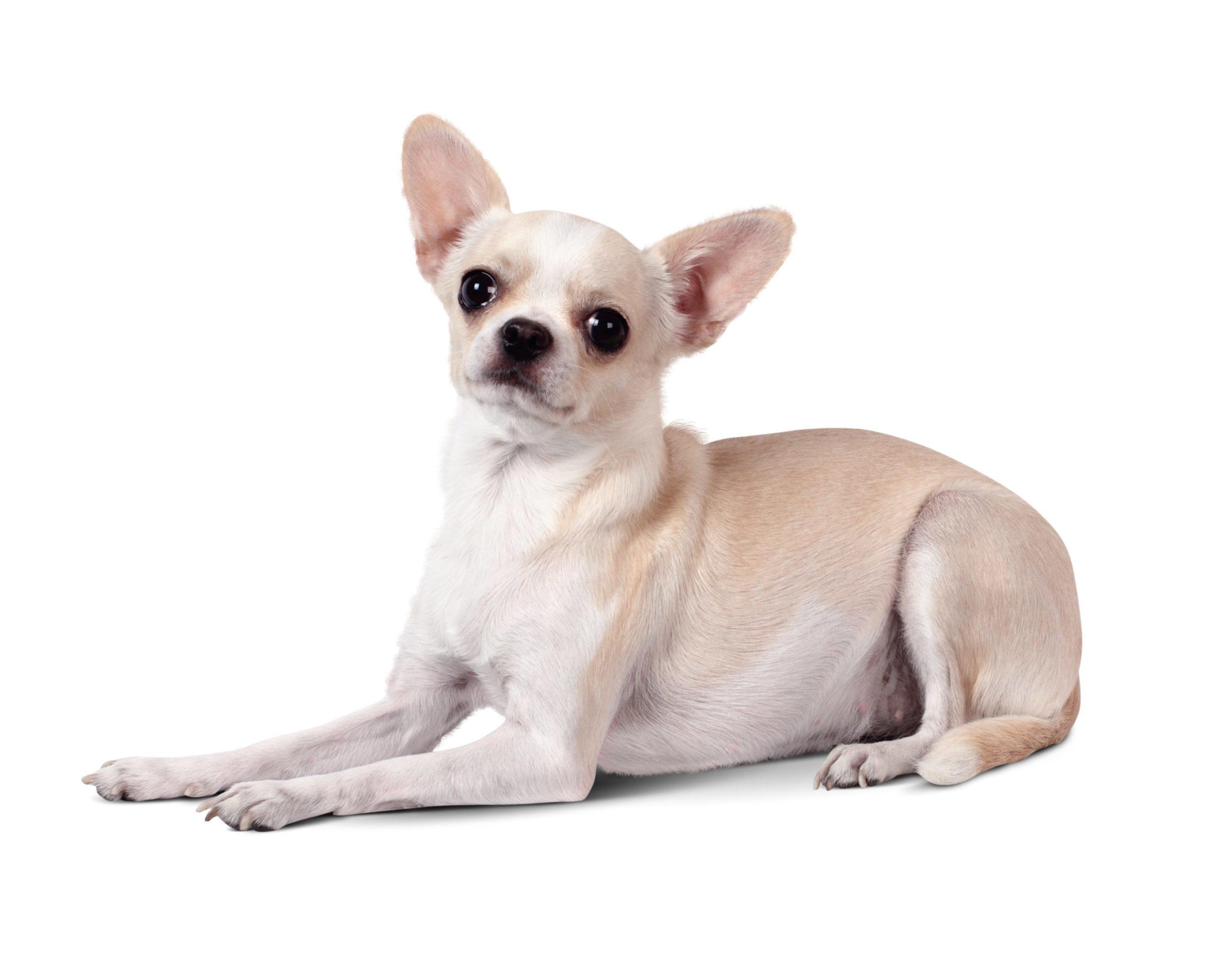 Chihuahua : un chien de compagnie plutôt qu'un chien de garde