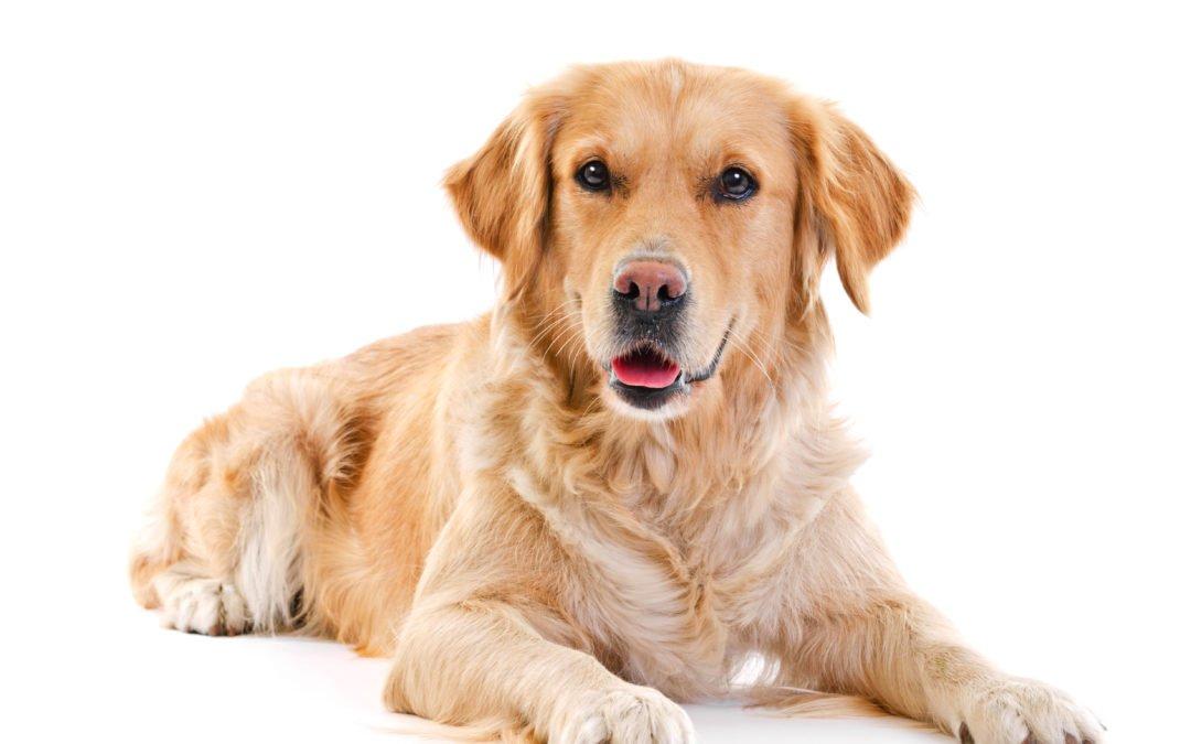 Golden retriever : un chien fait pour tout le monde