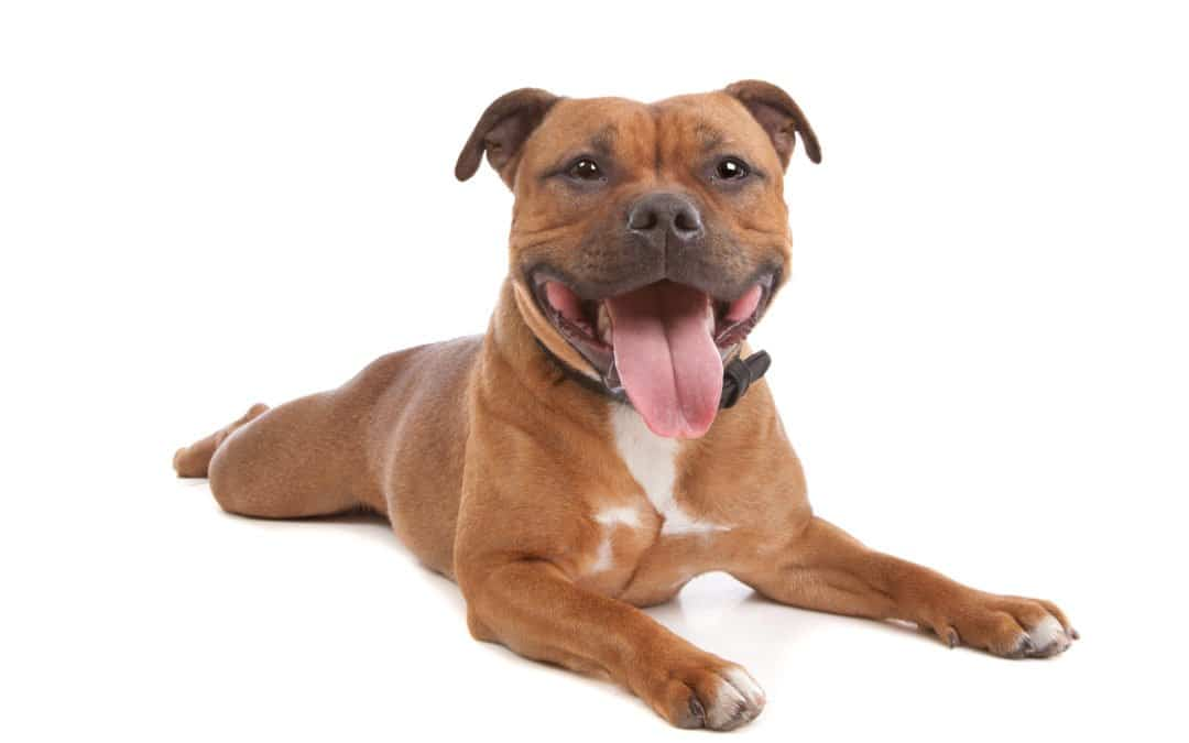 Staffordshire Bull Terrier : petit, mais costaud !
