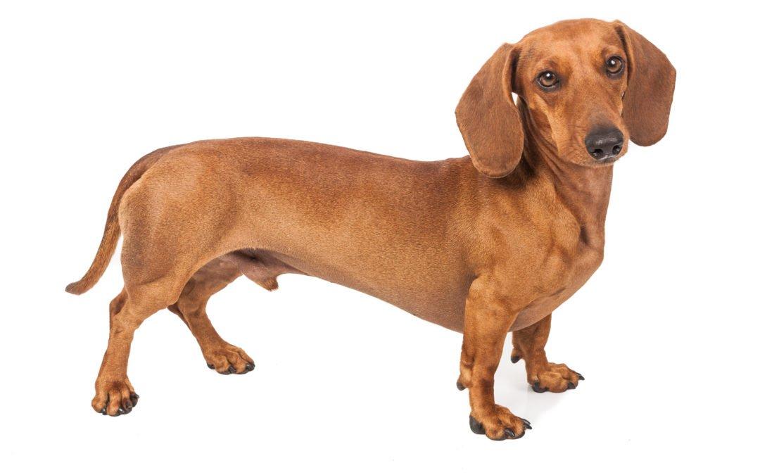 Race de chien : Teckel