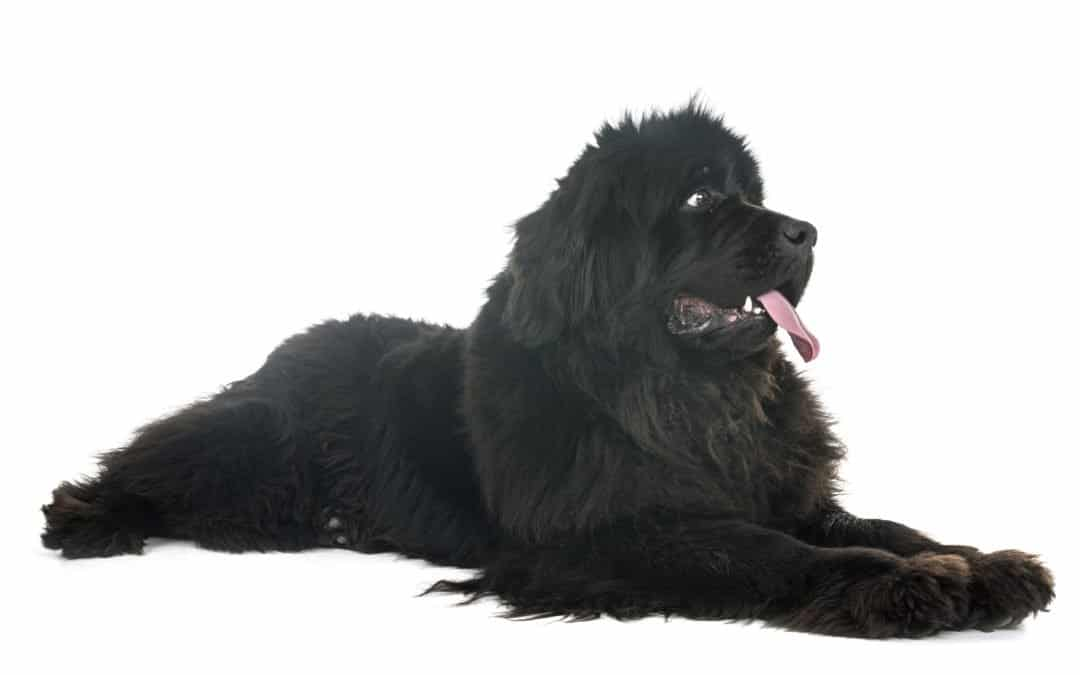 Race de chien : Terre-neuve