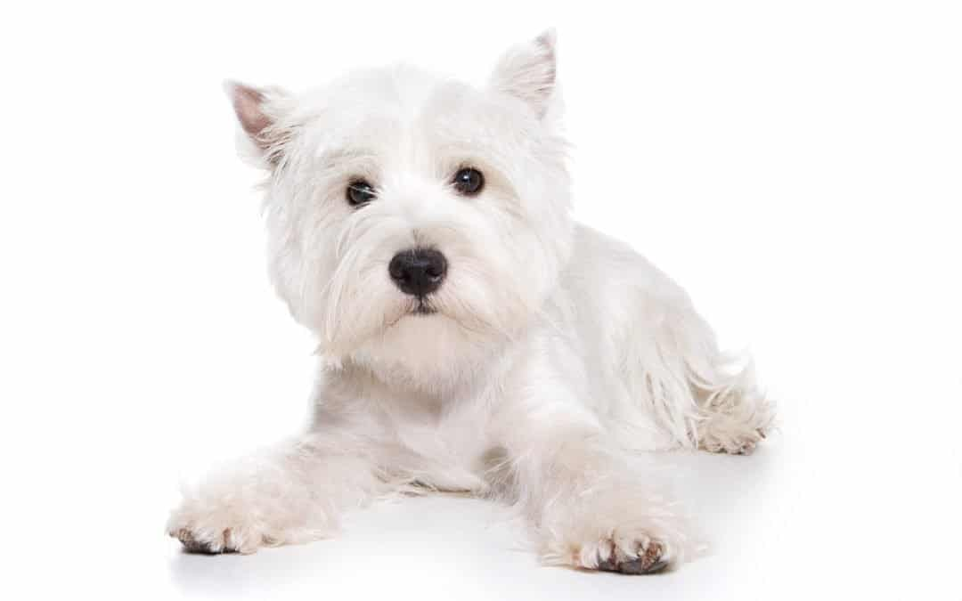Race de chien : West highland white terrier