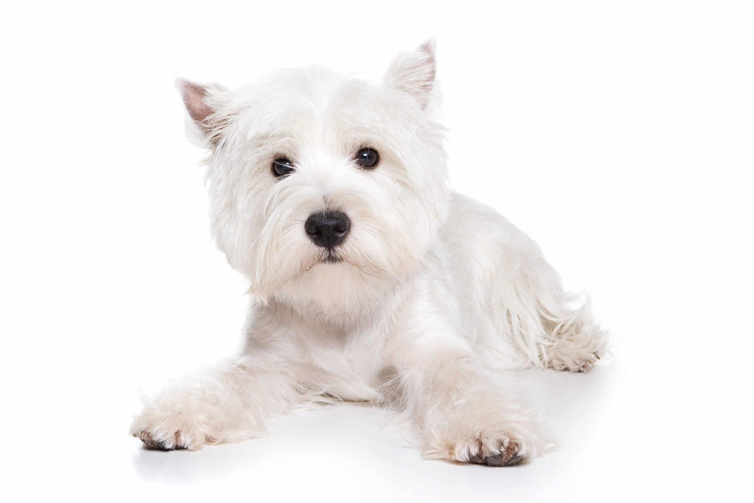 West highland white terrier : un chien rempli d'ardeur et de fougue