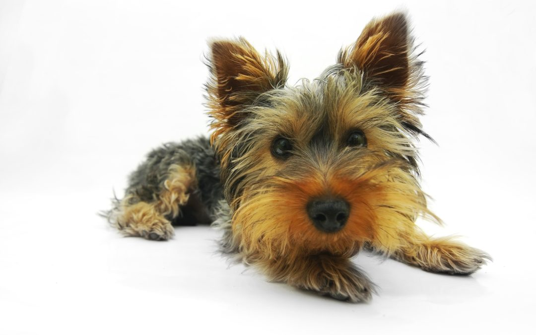 Race de chien : Yorkshire terrier