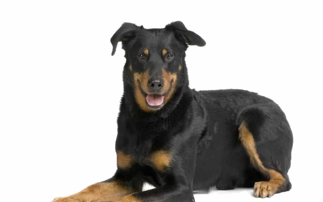 Race de chien : Berger de beauce