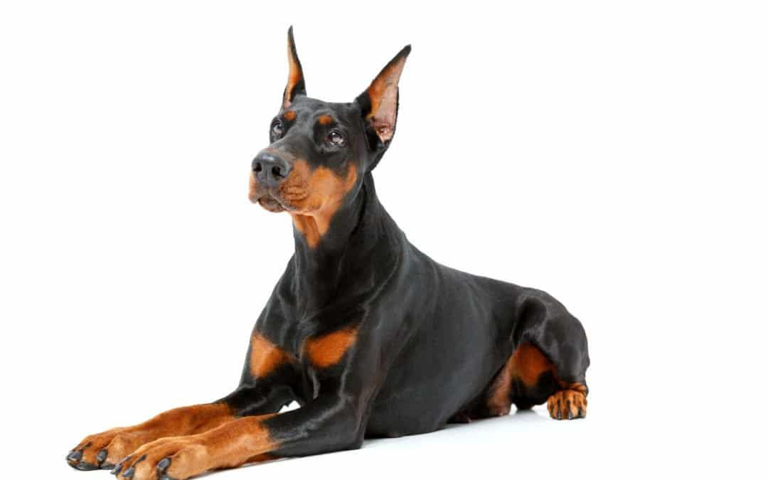 Race de chien : Doberman