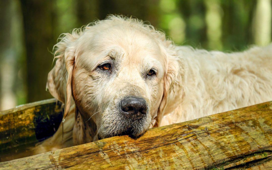 L'arthrose du chien : les signes et les traitements