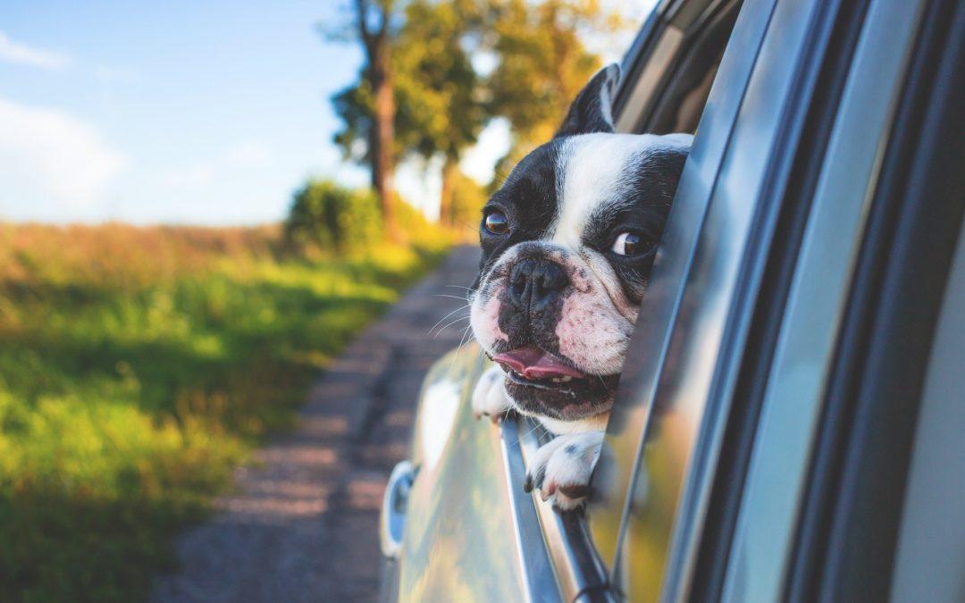 gérer un chien malade en voiture